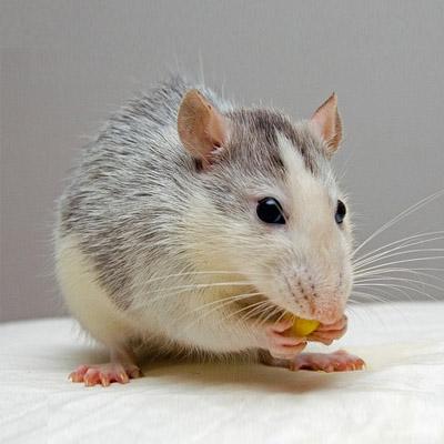 South-Carolina Rat Control